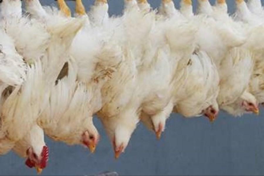مرغداران عامل افزایش قیمت مرغ نیستند