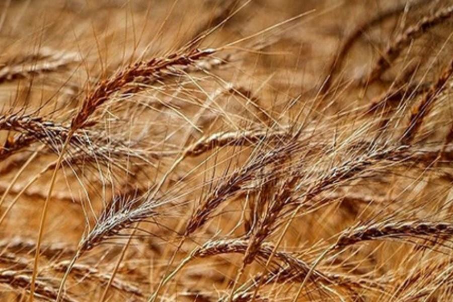تولید گندم در اثر خشکسالی کاهش یافت