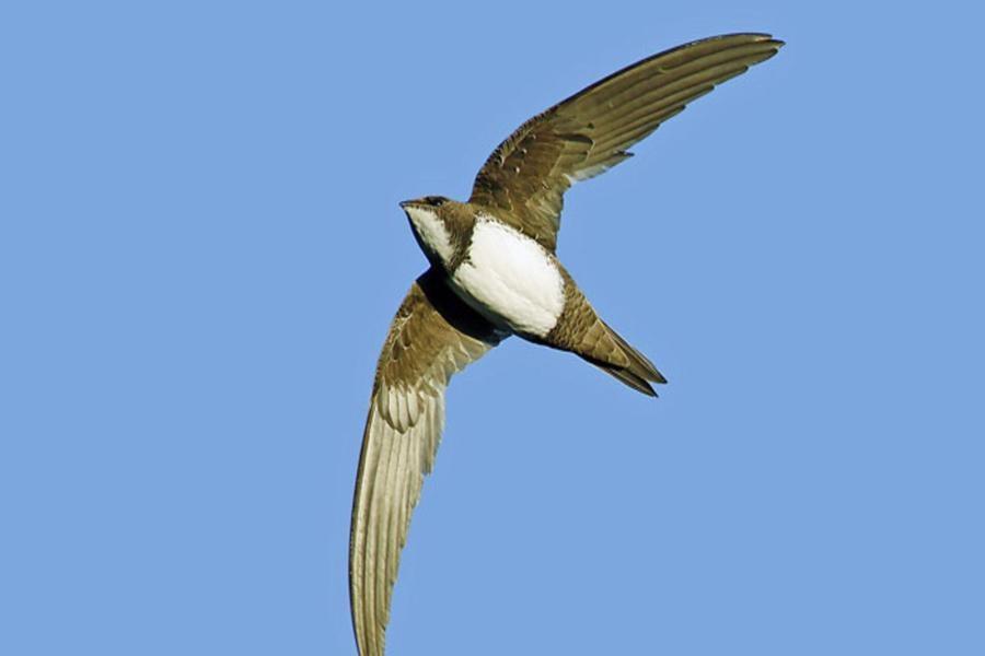 مشاهده پرنده مهاجر بادخورک کوهی در آسمان جواهر دشت رودسر