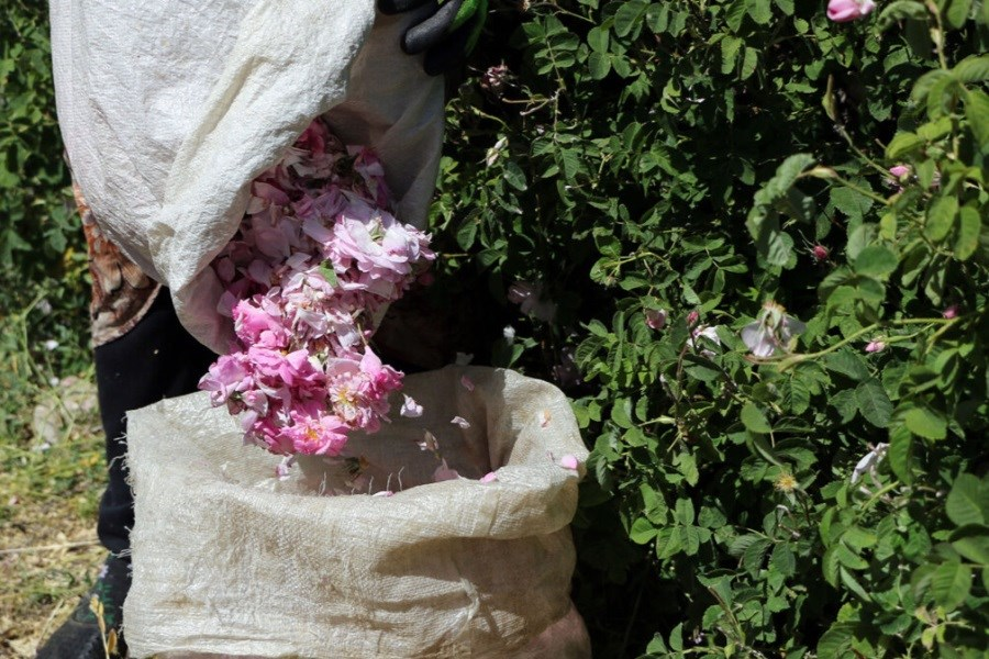کشت ۷۵ درصد گونههای گیاهان دارویی ایران در اصفهان