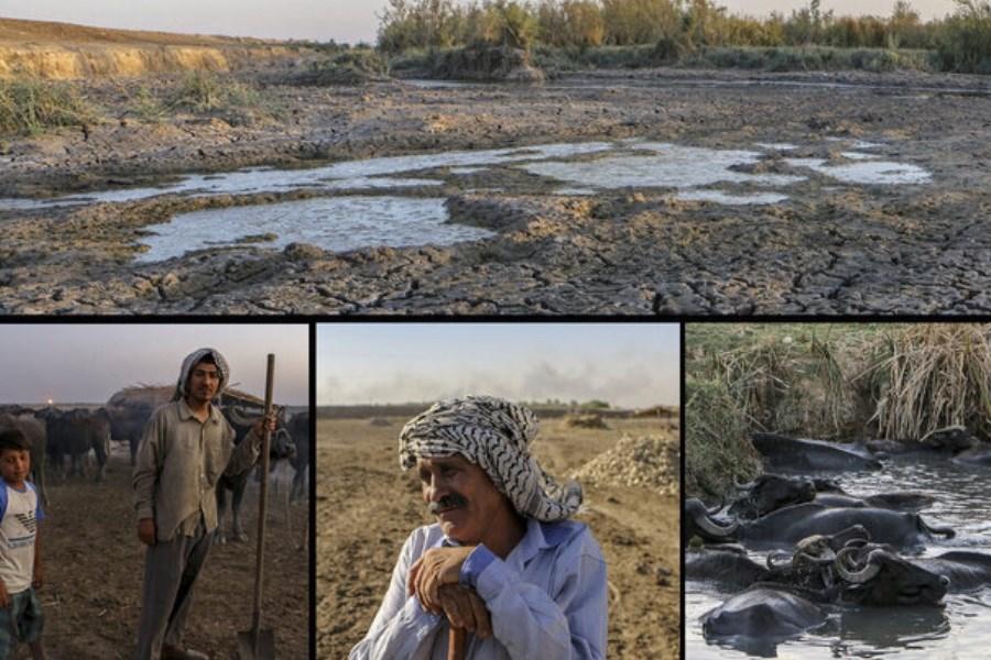 پیشنهاد کشت کنجد به جای برنج در خوزستان
