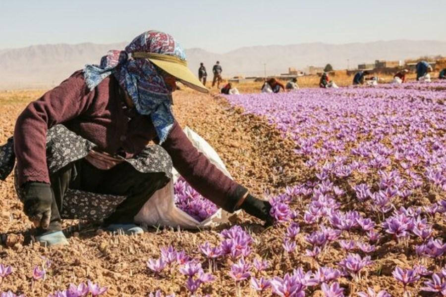 تولید 9 تن زعفران در اصفهان