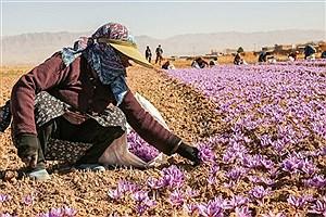 تصویر  تولید 9 تن زعفران در اصفهان