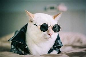 تصویر  گربهلاکچری معروف عرصهمدلینگ