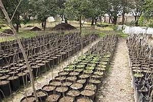 تصویر  ملایر پیشرو در تولید نهال و توسعه جنگل کاری