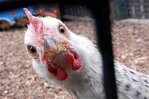 تصویر  آینده بازار مرغ نامعلوم است