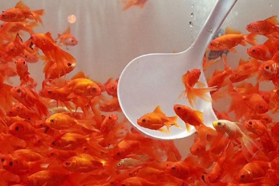 رتبه نخست تولید ماهیان زینتی کشور متعلق به اصفهان است