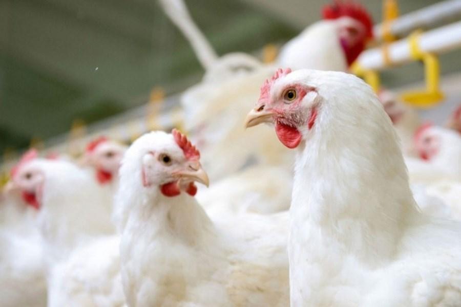 گرانی گوشت قرمز؛ منجر به افزایش 31 کیلویی سرانه مصرف گوشت سفید شد