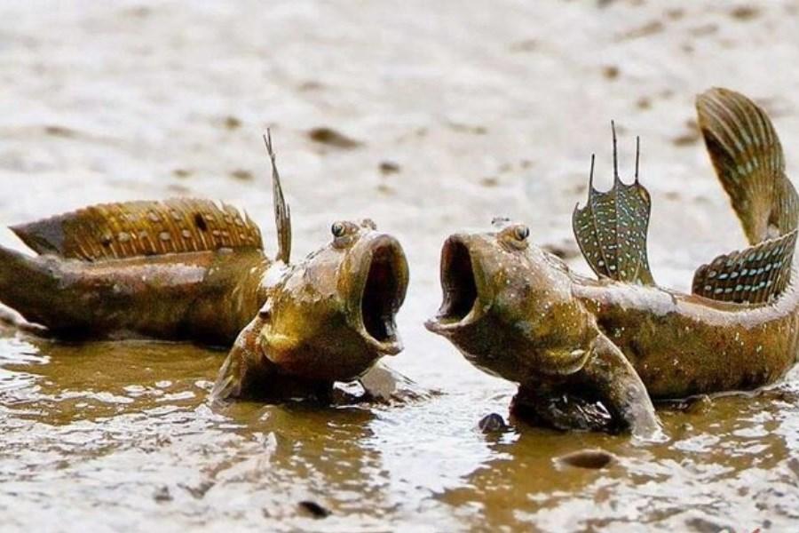 تصویر عجیبترین ماهی جهان در ایران!