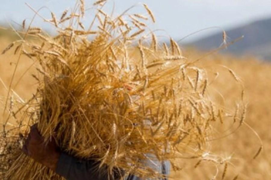 معرفی ۱۲ رقم جدید زراعی دیم در سال 1400