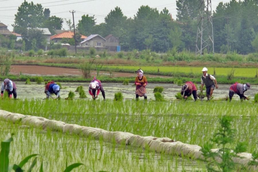 برنج ایرانی به دلیل افزایش قیمت خریدار ندارد