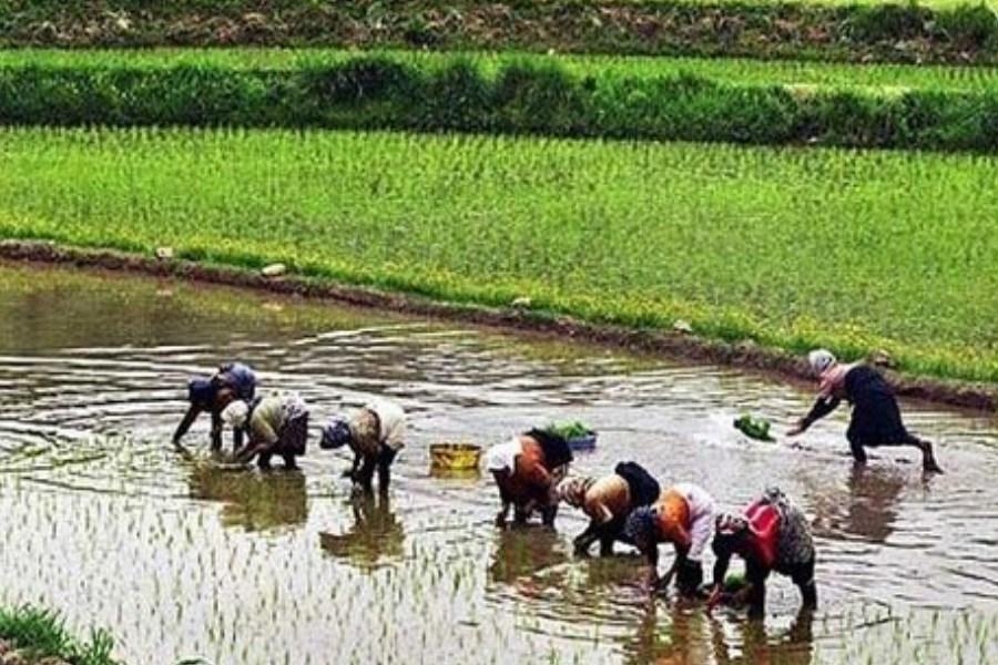 دلیل افزایش شدید قیمت برنج ایرانی