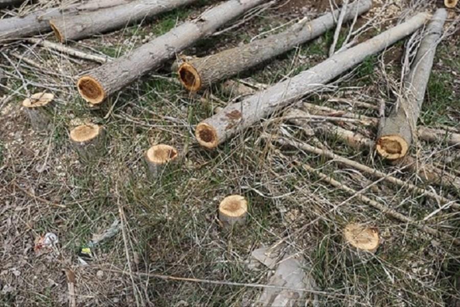 چرایی قطع درختان در باغهای لویزان