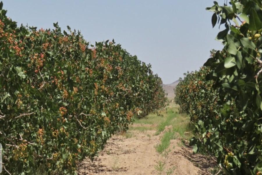 برداشت 50 درصد از پسته باغهای سیستان و بلوچستان
