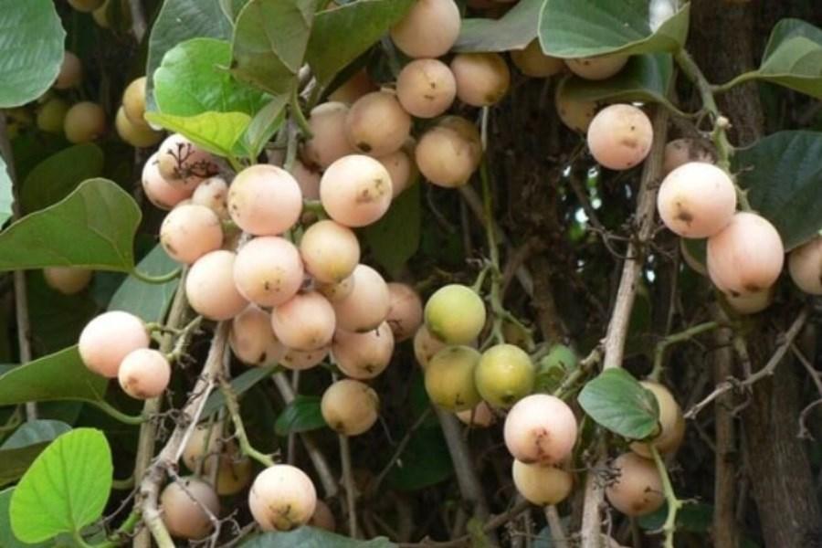 تصویر با میوه دارویی جنوب کشور آشنا شوید