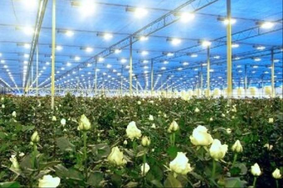 ۱۶ هکتار گلخانه تولید گل رز در کهگیلویه و بویراحمد وجود دارد
