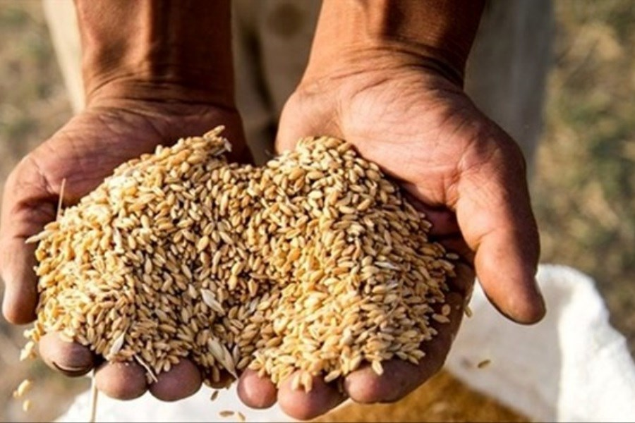 نرخ خرید تضمینی محصولات کشاورزی برای سال زراعی آینده مشخص شد