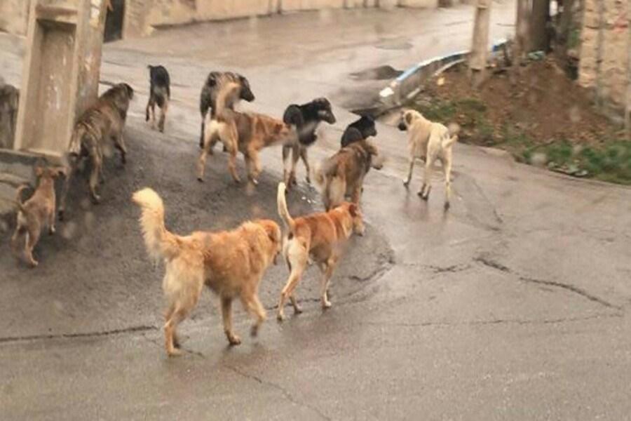 جولان سگهای ولگرد در شهر؛ وحشتی که دل شهروندان قوچان را چنگ میزند
