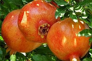 تصویر  ٢۵٠٠هزار تن انار مرغوب در میرجاوه برداشت میشود