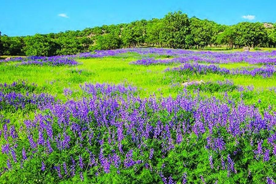 گیاهان دارویی در دشتهای اصفهان