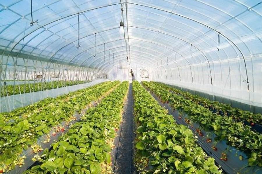 توسعه کشت گلخانه ای با حمایت بانک کشاورزی استان لرستان