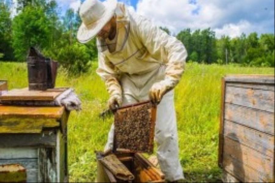 دلالی و نبود سرمایه درگردش مایه رنج زنبورداران مازندران