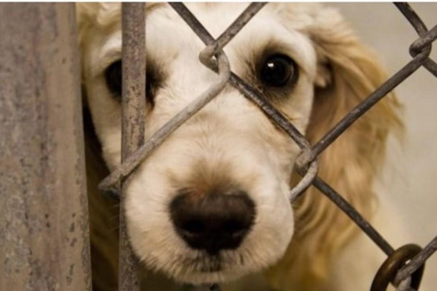 بیش از ۲۰۰۰ قلاده سگ علیه بیماری هاری واکسینه شدند