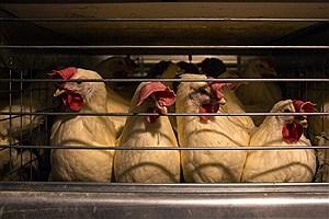 تصویر  تکمیل زنجیره مرغ در استان بوشهر