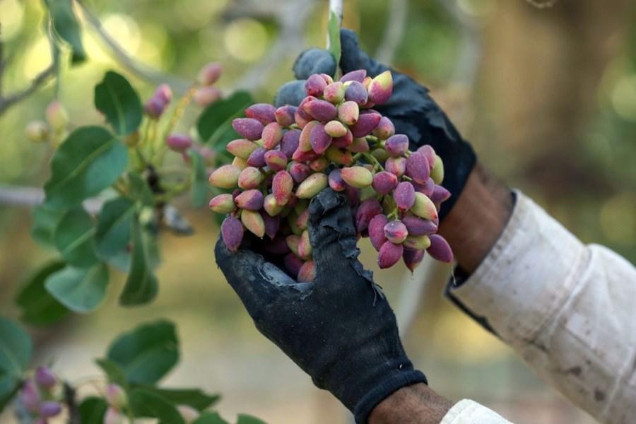 کشاورزان ماهنشانی ۷۵ تن پسته تر روانه بازار میکنند