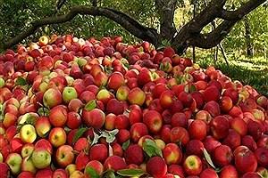 تصویر  خرید سیب صنعتی توسط آستان قدس رضوی