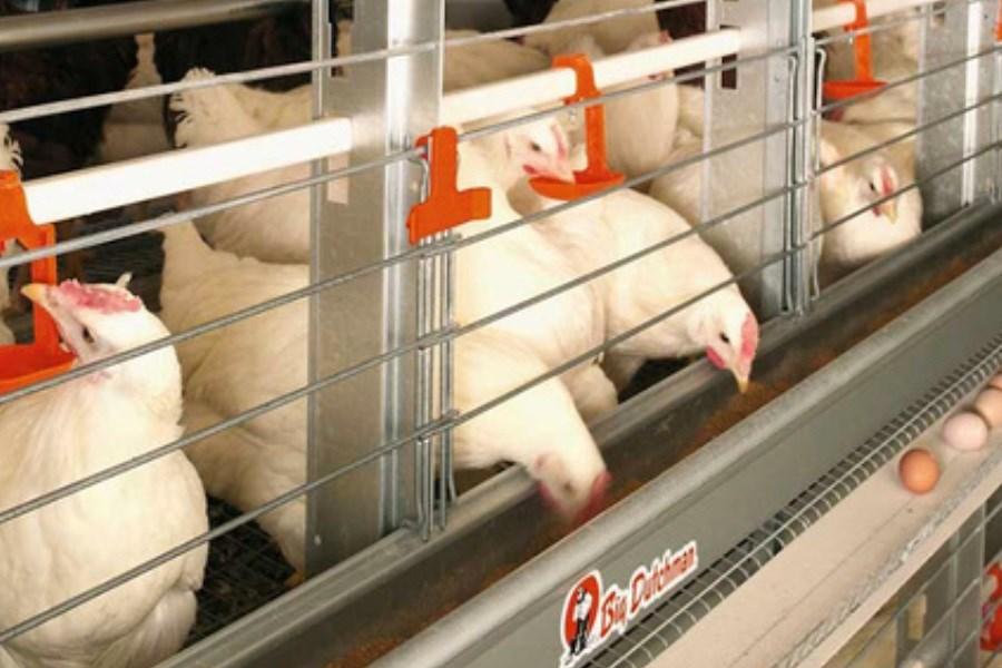 کاهش شدید جوجهریزی مرغ مادر علت آشفتگی بازار است