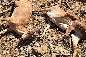 تصویر  اقدامات پیشگیرانه برای جلوگیری از ابتلای حیات وحش تهران به طاعون نشخوارکنندگان