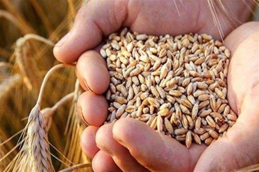 تصویر آغاز توزیع بذر گندم و کود بین کشاورزان