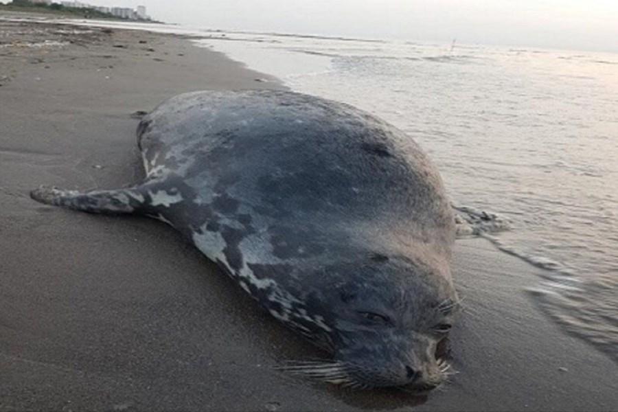 تصویر کشف لاشه یک قلاده فک در ساحل محمودآباد