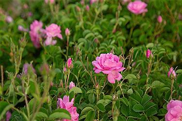تصویر فصل جذاب گل و گلاب