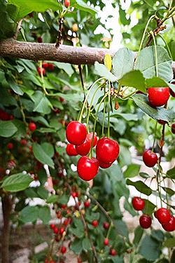 تصویر تصاویری از باغات آلبالو، طلای سرخ خراسان شمالی