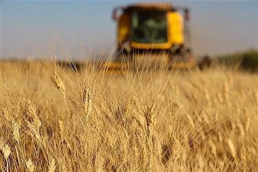 تصویر برداشت گندم در مزارع خراسان شمالی