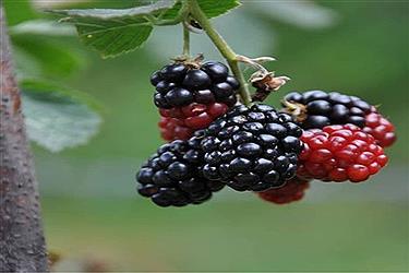تصویر تمشک میوه ای پر از خواص دارویی درخراسان شمالی