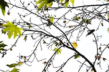 تصویر برگریزان پاییزی در تابستان