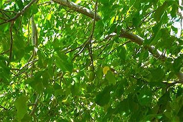 تصویر برداشت گردو از باغهای کهکیلویه و بویراحمد
